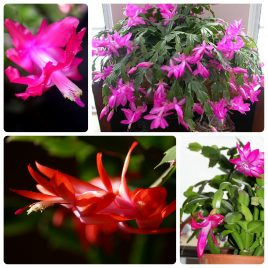 10. Božićni kaktus – Schlumbergera truncata