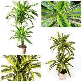 16. Dracena fragrans – Dracenae fragrans