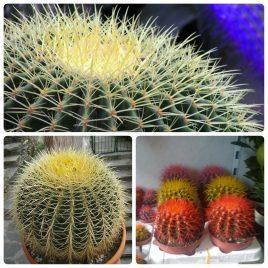 19. Ehino kaktus – Cactaceae