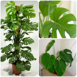 22. Filadendron – Philodendron