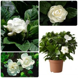24. Gardenija – Gardenia