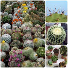 30. Mini kaktus