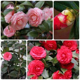 34. Mini ruže