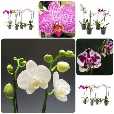 Održavanje orhideja – Phalaenopsis