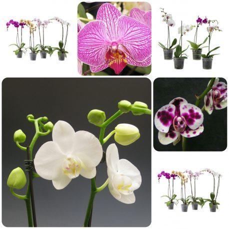 odrzavanje orhideja