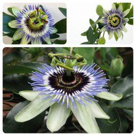 46. Hristov venac, Pasiflora – Passiflora
