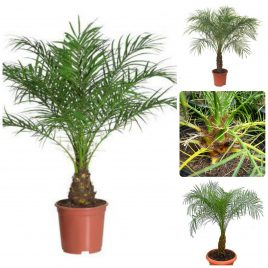 47. Rubelini palma – Phoenix roebelenii