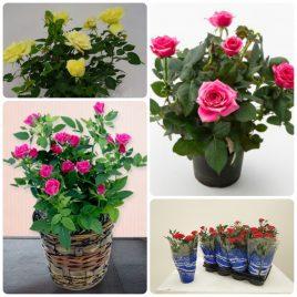 Saksijsko cveće (49)