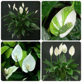 52. Spatifilum – Spathiphyllum