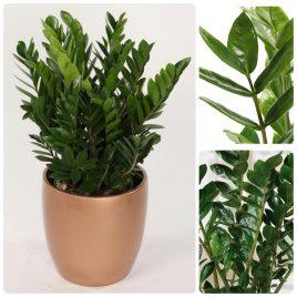 56. Zamija – Zamioculcas zamiifolia