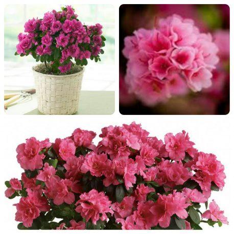 Saksijsko cveće (6)