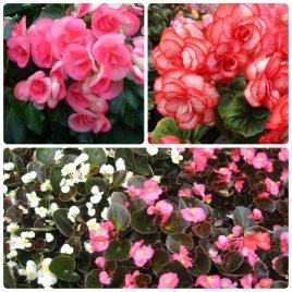 Saksijsko cveće (8)