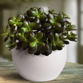 Krasula (Crassula ovata) – Drvo novca