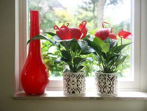 Anturijum - Flamingov cvet