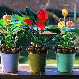 Anturijum (Anthurium) – Egzotičan flamingov cvet