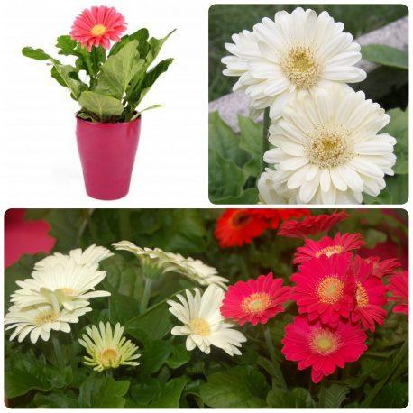 Saksijsko cveće (25)