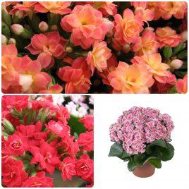 Saksijsko cveće (32)