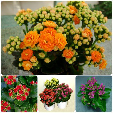 Saksijsko cveće (33)