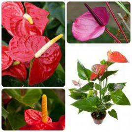 Saksijsko cveće (5)