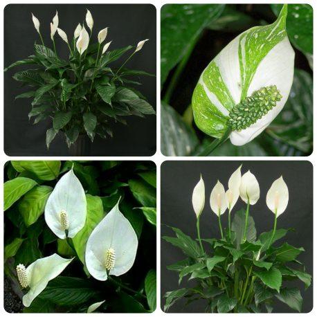 Saksijsko cveće (52)