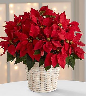 Božićna zvezda – Poinsettia
