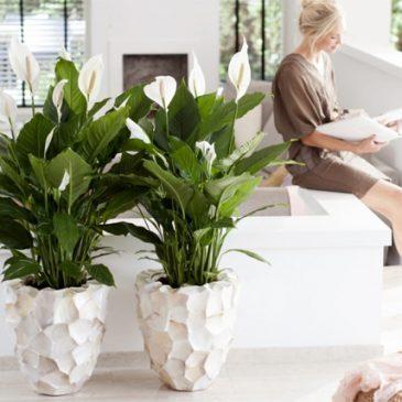 Spatifilum (Spathiphyllum) – Elegantna sobna biljka za čišćenje vazduha