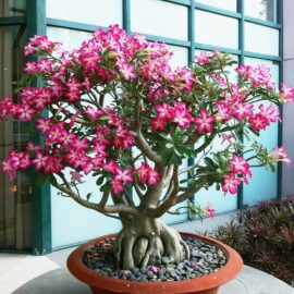 Pustinjska ruža koja cveta i u Srbiji – Adenium obesum