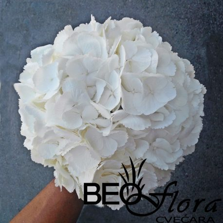 Beoflora bidermajer hortenzija